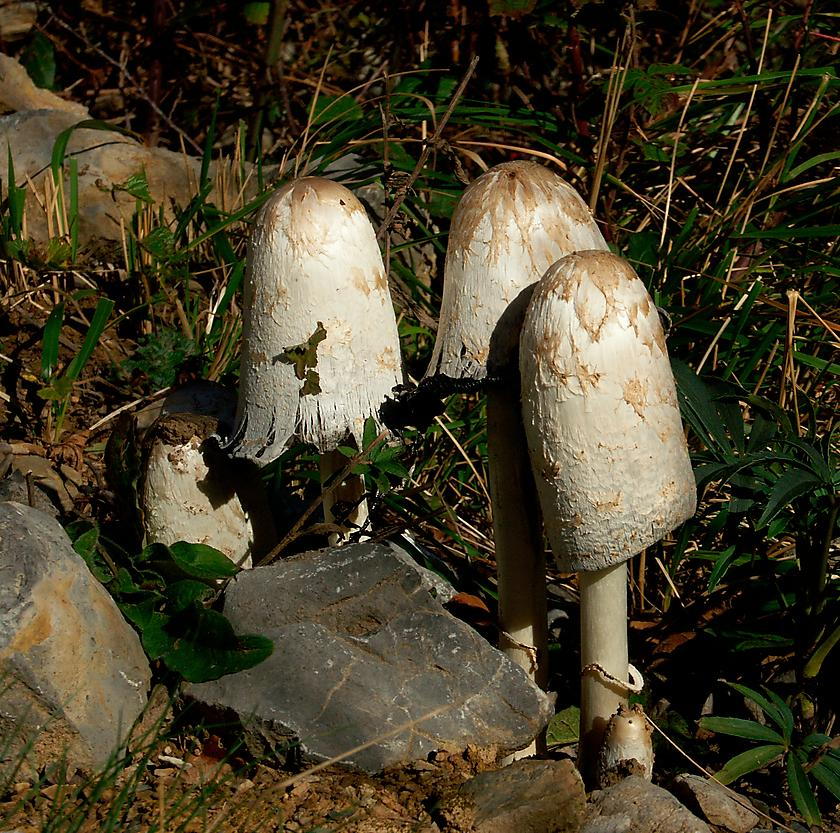 image from Coprinus comatus